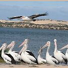 Pelicans by bobby1