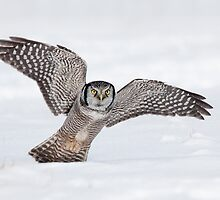 Approaching Northern Hawk-Owl by Daniel Cadieux