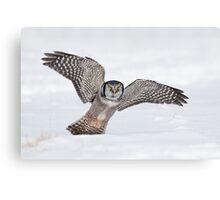Approaching Northern Hawk-Owl Canvas Print
