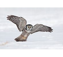 Approaching Northern Hawk-Owl Photographic Print