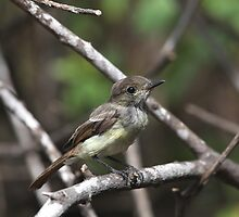 Galapagos Flycatcher by Paul Duckett