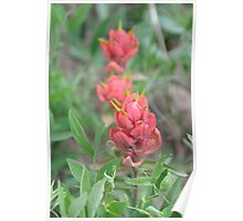 Indian Paint Brush Poster