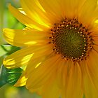 Sunflower by rrushton