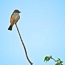 Female Vermillian Flycatcher by Ann Reece