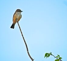 Female Vermillian Flycatcher by Ann Reece