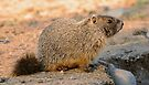 Marmot pup sunning by Rodney55