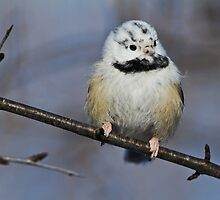Casper the  ghostly chickadee by jamesmcdonald