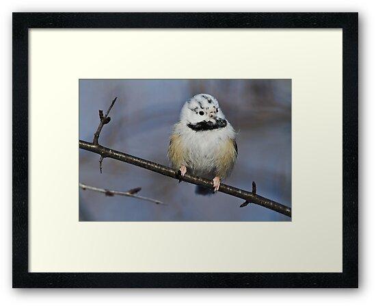 Casper the  ghostly chickadee by jamesmcdonald