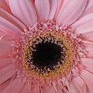 Soft pink gerbera by hummingbirds