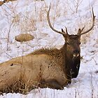 Elk in Winter by Luann wilslef