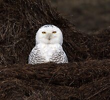 My What A Big Nest You Have / Snowy Owl by Gary Fairhead