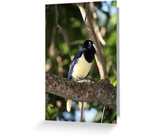 South American Blue Jay Greeting Card