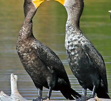 Kissing cormorants! by jozi1