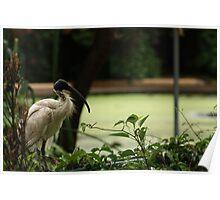 Ibis - botanic gardens Poster