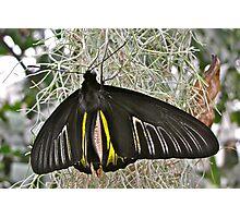 Golden Birdwing Photographic Print