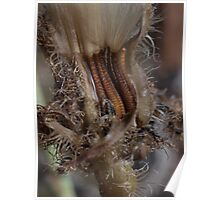 Wrinkly seeds and hairy bracts - Picris evae Poster