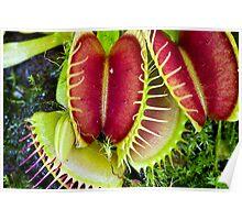 Venus Fly Trap - Dionaea muscipula Poster
