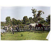 Ethiopian horses and marabou stalk Poster