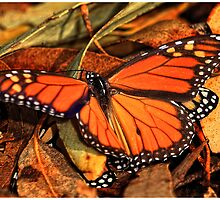 Monarch Butterfly by Chris Odchigue