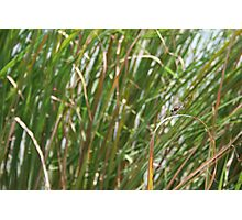 Dragonfly on  dune grass Photographic Print