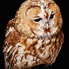 An Injured Owl in the World Bird Sanctuary by barnsis