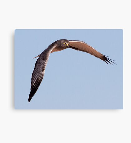 Northern Harrier (Male) Canvas Print