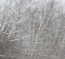 Wind and snow in the New England birches by Michele Simon