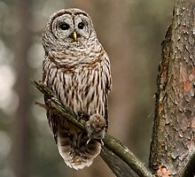 Barred Owl  by Bill Maynard