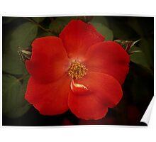 Forever a Rose Poster