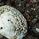 The Barnacled Seashell by BPhotographer