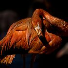 Greater Flamingo (Phoenicopterus roseus) by Chris Westinghouse