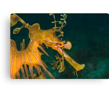 Leafy Seadragon  Canvas Print