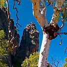 Australian eucalyptus, Windjana Gorge, Kimberley. WA by johnrf