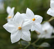 White Macro Flower by Tamara Dandy