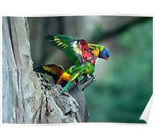 It's a long way down!  - baby lorikeets Poster