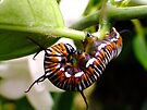 Common Indian Crow Caterpillar by Gabrielle  Lees