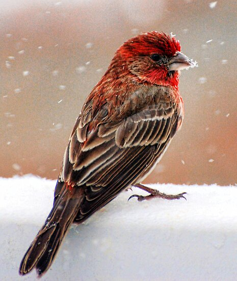 House Finch  by barnsis