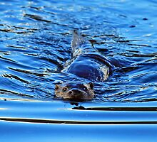 Otter at Windermere by Linda Lyon