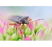 Pentatomoidea Photographic Print