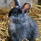 Little Grey Bunny by AnnDixon
