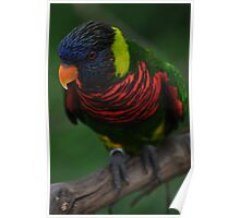 Lorikeet on a branch Poster