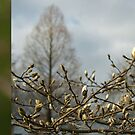 Budding Magnolia diptych by steppeland