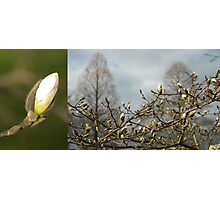 Budding Magnolia diptych Photographic Print