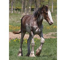 Young And Strong Clydesdale Photographic Print