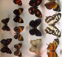 Butterfly collection insect exhibit display by Samantha Harmon-Smith