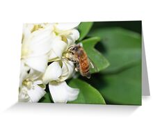 A Honey Bee Gathering Pollen from Mock Orange Flowers Greeting Card