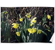 The January Daffodils Poster