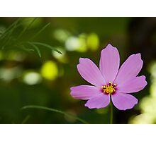 Cosmos in the garden Photographic Print