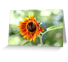 Sunflower in the late summer sun Greeting Card