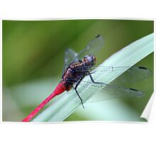Red tailed Dragonfly Poster